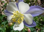 A columbine on the headwaters of Park Creek south of Monarch Pass