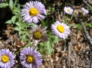 Maybe Erigeron spp.?, on Hayden Creek
