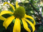 Closeup of tall sunflower on the North Prong of Hayden Creek