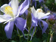 Pretty columbine near the Bushnell Lakes