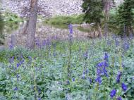 A patch of purple monkshood near Bushnell Lakes