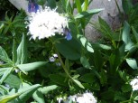 Possibly the white flower is Valerian
