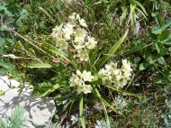 Death Camas near Bushnell Lakes