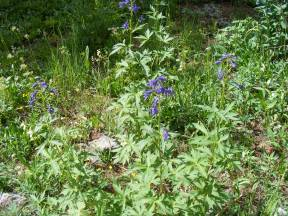 Larkspur near Bushnell Lakes