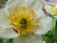 Closeup of Globeflower near Bushnell Lakes with pollinator