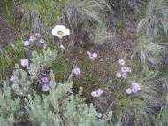 Sagebrush, sego lily and daisies on the Independence Gulch Trail No. 234
