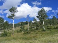 Aspen in a meadow on Independence Gulch