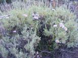 Daisies growing amidst sagebrush
