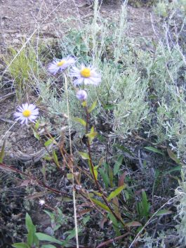 Daisies and sagebrush on the Independence Gulch Trail No. 234