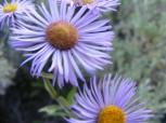 Closeup of daisies