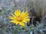 Closeup of the small sunflower on the Independence Gulch Trail No. 234