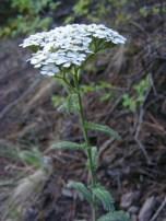 Achillea millefolium, part of Asteraceae, on the Independence Gulch Trail No. 234