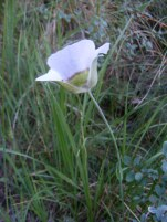Profile of Gunnison's Sego Lily
