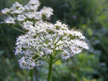 An umbel from a member of Apiaceae on the Independence Gulch Trail No. 234