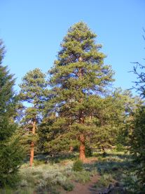 Morning light on Ponderosa Pine in the Uncompahgre Wilderness
