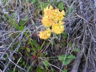 Eriogonum umbellatum in Polygonaceae on the Independence Gulch Trail No. 234