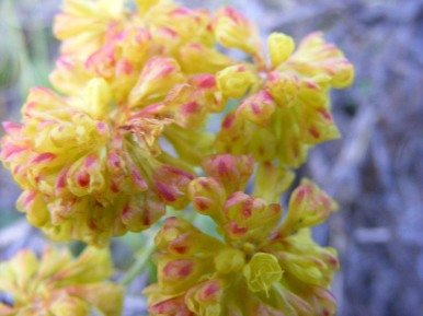 Sulfur Buckwheat in the Buckwheat Family on the Independence Gulch Trail No. 234