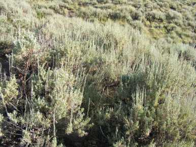 Morning sun on the sagebrush in the Uncompahgre Wilderness