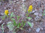 Something in Asteraceae, possibly Solidago spp., on the Independence Gulch Trail No. 234