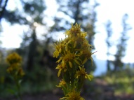 Silhouette of maybe a goldenrod in the Uncompahgre Wilderness