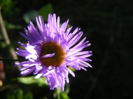 Sunlight catching on a daisy in the Uncompahgre Wilderness