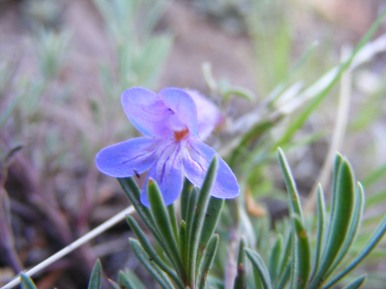 A low growing Penstemon spp. growing on the Independence Gulch Trail No. 234