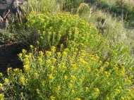 This plants look like a species of rabbitbrush, on the Independence Gulch Trail No. 234