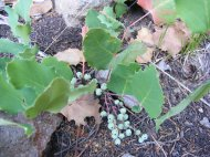 Oregon Grape with fruit, on the Independence Gulch Trail No. 234