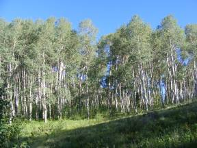 Aspen forest in Independence Gulch