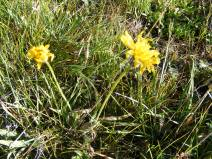 A native dandelion on Independence Gulch