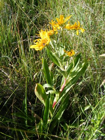 A member of the Aster Family on the Independence Gulch Trail No. 234
