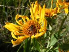 Pollinator at work on an Asteraceae