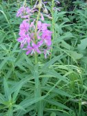 Fireweed, in the Evening Primrose Family, on the Independence Gulch Trail No. 234