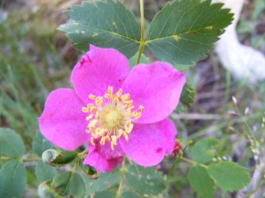 Wild Rose on the Independence Gulch Trail No. 234