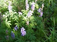 Lupine spp. in the Pea Family, on the Independence Gulch Trail No. 234