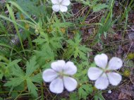 Geranium spp. on the Independence Gulch Trail No. 234