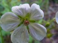 Wild Geranium on the Independence Gulch Trail No. 234