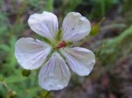 Closeup of wild geranium in the Uncompahgre Wilderness