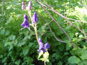 Monkshood, in the Buttercup Family, on the Independence Gulch Trail No. 234
