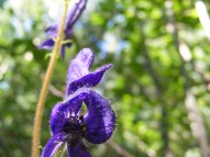 Aconitum columbianum in Ranunculaceae, on the Independence Gulch Trail No. 234