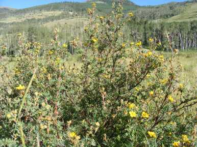 Dasiphora fruticosa in Rosaceae, on the Independence Gulch Trail No. 234