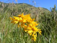 Sunflowers in the meadow on Independence Gulch