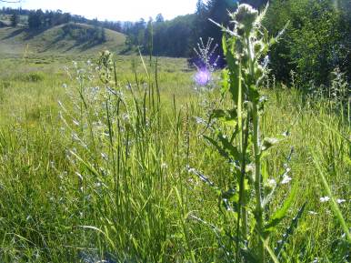 Stickseed and thistle in the meadow near Independence Gulch