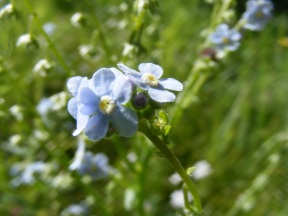 Closeup of a Stickseed in the Borage Family, on the Independence Gulch Trail No. 234