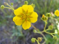 Potentilla spp. in Rosaceae, on the Independence Gulch Trail No. 234