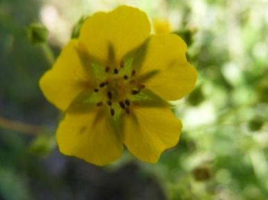 Closeup of a Potentilla spp. in the Uncompahgre Wilderness