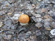 A fungi growing on the Independence Gulch Trail No. 234