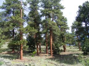 Ponderosa pine on the Independence Gulch Trail No. 234