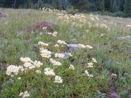 Creamy Buckwheat in the family of the same name, near the Gold Creek Trailhead