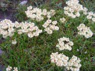 Eriogonum supalpinum in Polygonaceae, near the Gold Creek Trailhead
